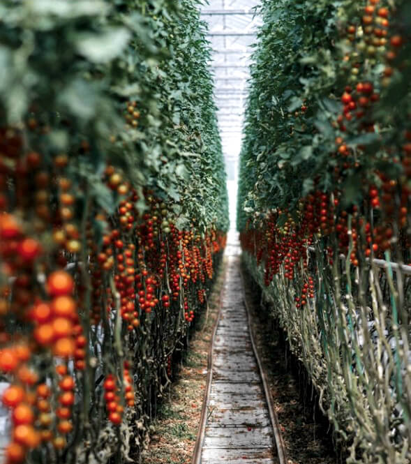 Tomates cultivados con el calor de la minería